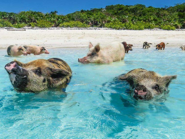 Gay Cruises Und Schwimmende Schweine Auf Den Bahamas